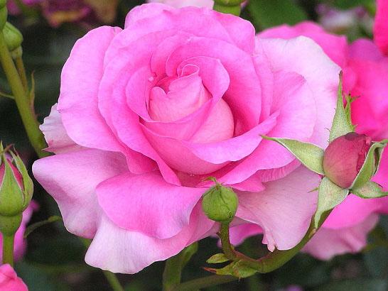 Роза флорибунда чем отличается от чайно-гибридной