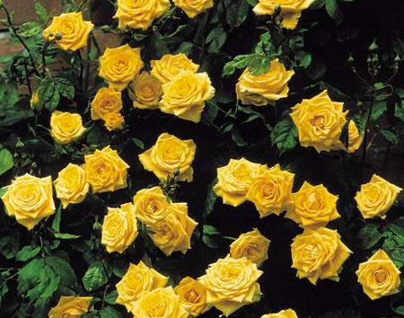 сорта роз плетистых с фото и описанием