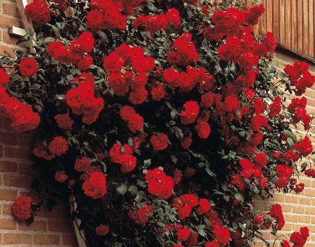 Роза пауль скарлет климбер