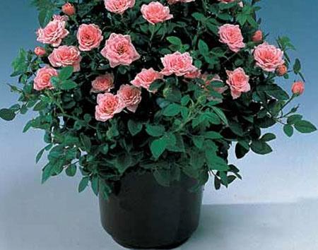 Розы патио купить в спб живые цветы оптом омск