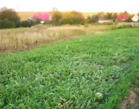 поле арбузное фото