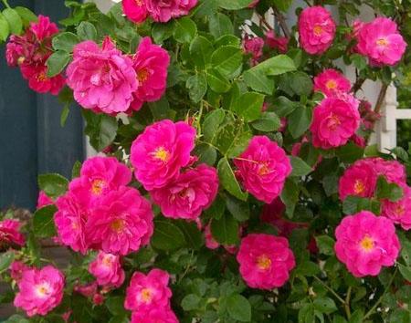Где купить канадские плетистые розы видео подарок на 14 февраля парню